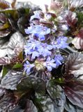 Ajuga Reptans Black Scallop 1L Pot